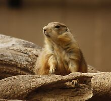 Prairie Dog by AnnDixon