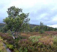 Alpine Birches of the Scandies by HELUA