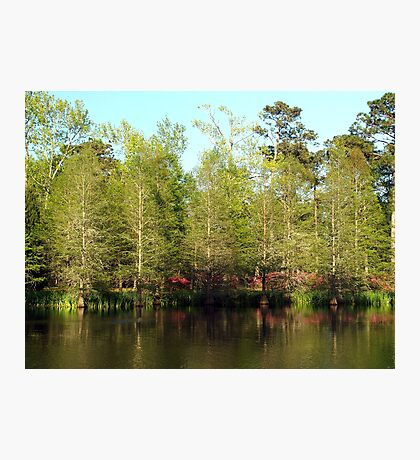 Spring Cypress Photographic Print