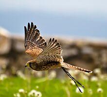 Falcon by Luca Renoldi