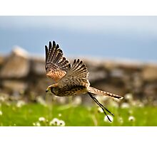 Falcon Photographic Print