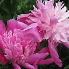 Pink Peonies by aila
