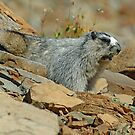 """The Whistler"" --Hoary Marmot by Dennis Jones - CameraView"