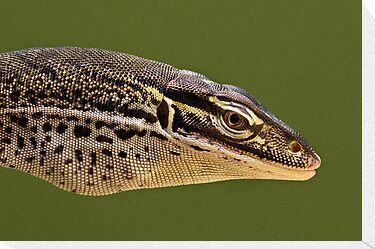 Papuan Sand Monitor by Frank Yuwono