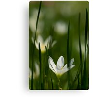 White rain lily or zephyranthes candida Canvas Print