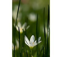 White rain lily or zephyranthes candida Photographic Print