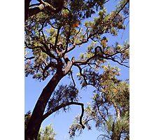 Nuytsia floribunda Photographic Print