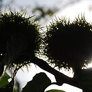 Chestnuts by sarahtoure