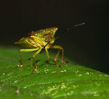 Hawthorn Shield Bug by kernuak