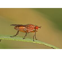 Dung Fly Photographic Print