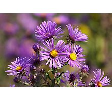 Wild Asters Photographic Print