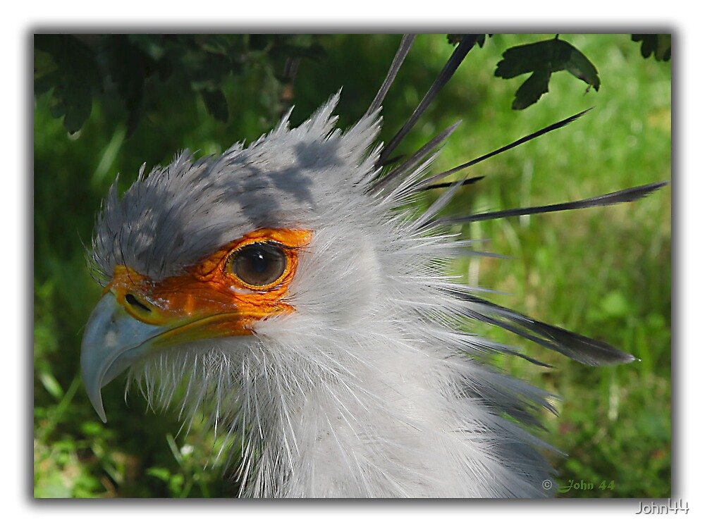 The Secretary Bird  by John44