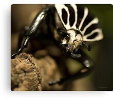 Goliath beetle Canvas Print