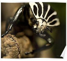 Goliath beetle Poster