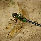 Dragonfly Beauty by Vicki Pelham