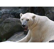 Polar bear showed gravestones Photographic Print
