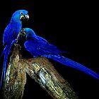 Blue Birds by myrbpix