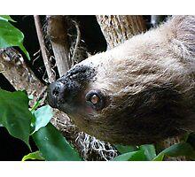 Sloth Portrait Photographic Print