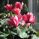 Deep Pink Cyclamen by Pat Yager