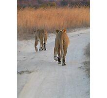 Lionesses at sunset, Zimbabwe Photographic Print