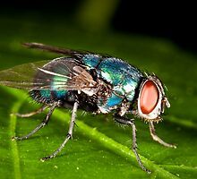 Just a Little Blue Fly!  by Luke Zappara
