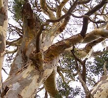 Twisting & Curling as the wind shaped the old Eucalyptus tree. by Rita Blom