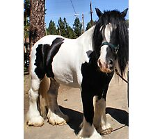 Saxon~Gypsy Draft Horse Photographic Print