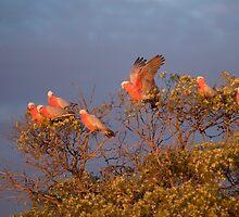 Gallah Tree by Jenny Dean
