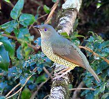 Female Satin Bower Bird by Rachel Welsh