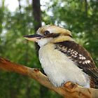 Kookaburra by Kerry  Hill