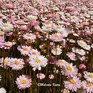 Western Australia Wildflowers by Malcolm Katon