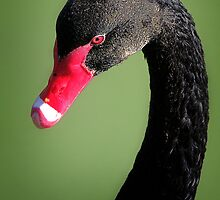 Black Swan by Karen Scrimes