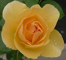 David Austin - yellow rose by alex1s0