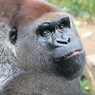 Gorilla - Central Africa by DutchLumix
