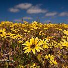 One of Many, Wildflowers of WA by Malcolm Katon