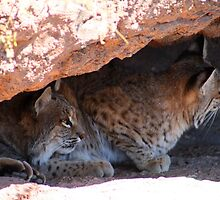 two bobcats by RichImage