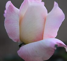 Pink and White Rose by Robert Armendariz