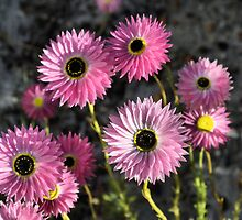 Pink Australian Native Wild flower Dasies by TeAnne