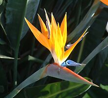 Bird of Paradise by jweekley