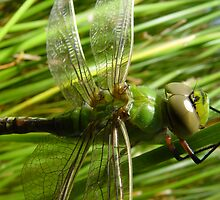 freshly emerged dragon fly by Paul Watkins