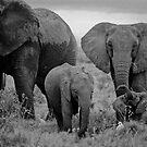 Family  of   Elephants  by yoshiaki nagashima