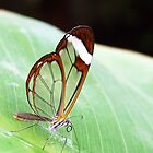 Glass Winged Butterfly by HippyDi