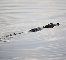 Lake DeSoto Alligator by rd Erickson