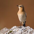 Wheatear by Neil Bygrave (NATURELENS)