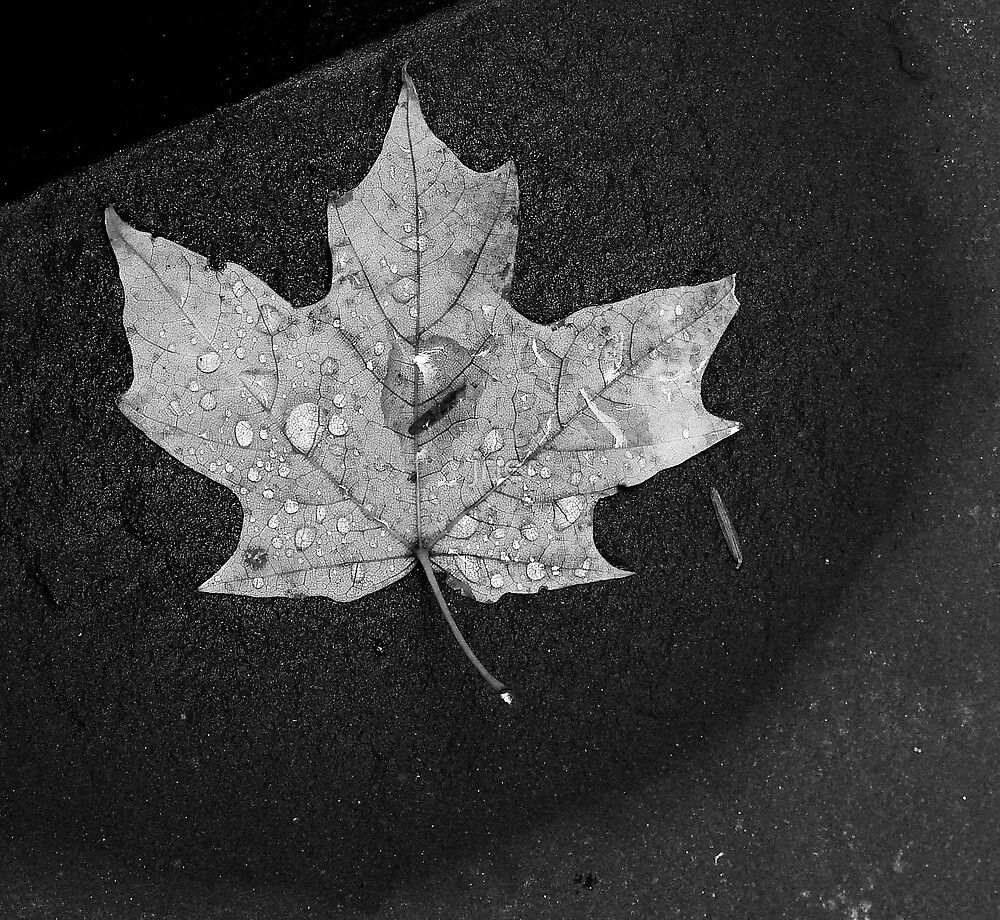 Maple Leaf and Rock by jrier