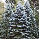 Beautiful Blue spruce by karen Bradshaw