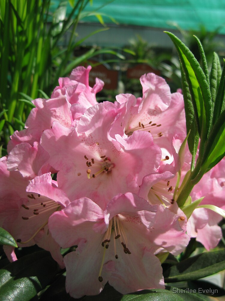 Pink Rhododendrum by Sherilee Evelyn