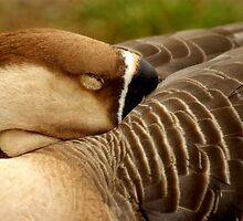 Sleeping Chinese Goose by Tamara  Kenneally