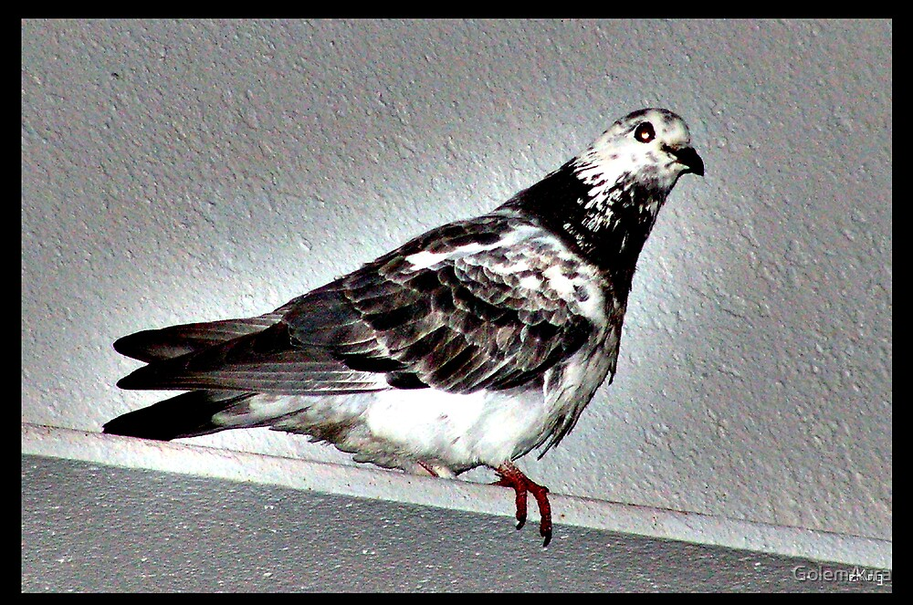 Pigeon by GolemAura