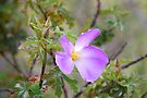 'Native Hibiscus' by Ian Berry